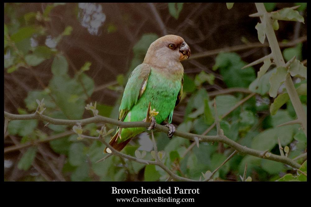 Brown-headed Parrot.jpg