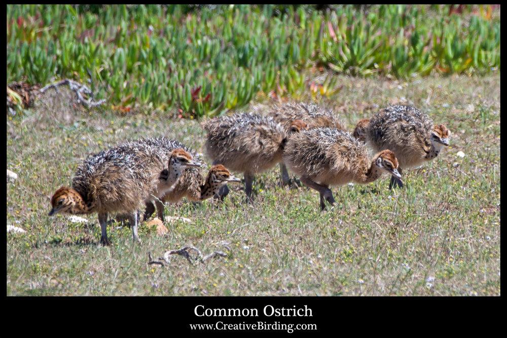 Common Ostrich2.jpg