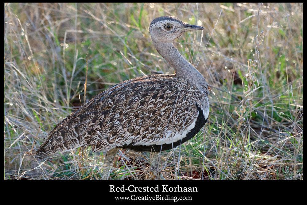 Red-Crested Korhaan.jpg