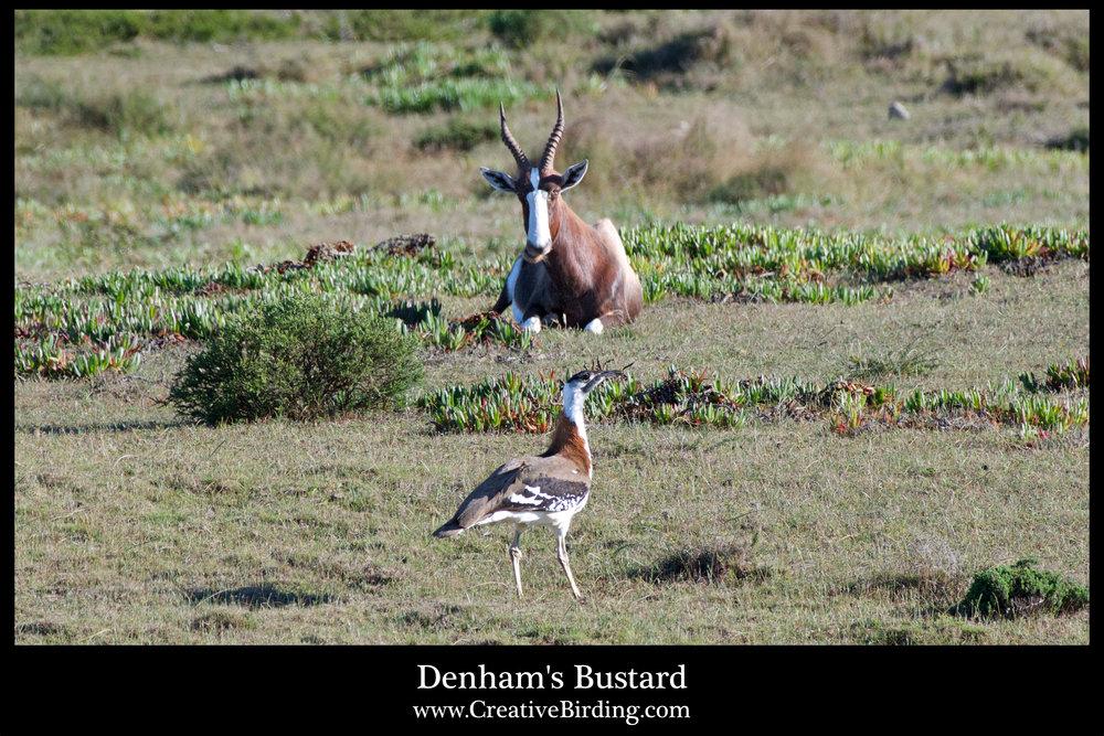 Dunham's Bustard2.jpg