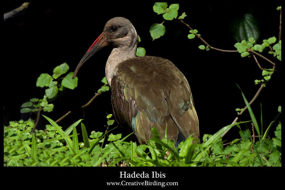 Hadeda Ibis.jpg
