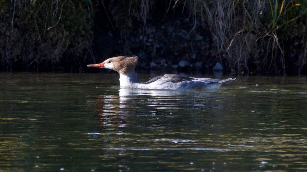 Common Merganser - male