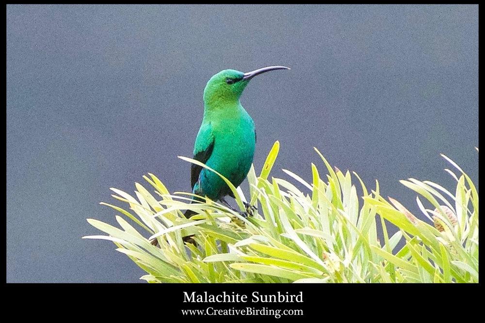 Malachite Sunbird cb.jpg