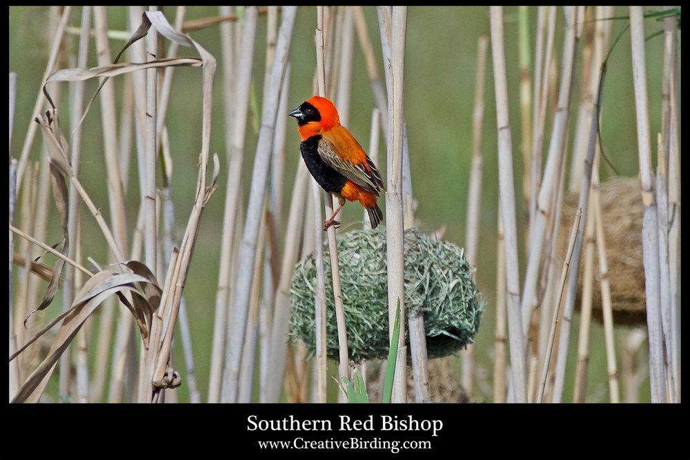 Southern Red Bishop.jpg