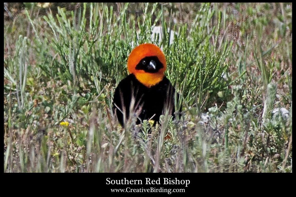 Southern Red Bishop2.jpg