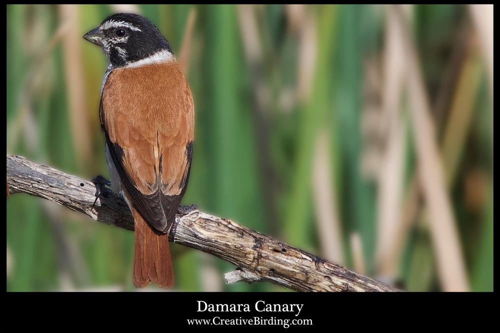 Damara Canary.jpg