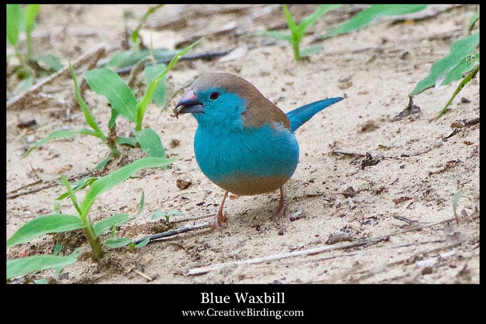 Blue Waxbill.jpg