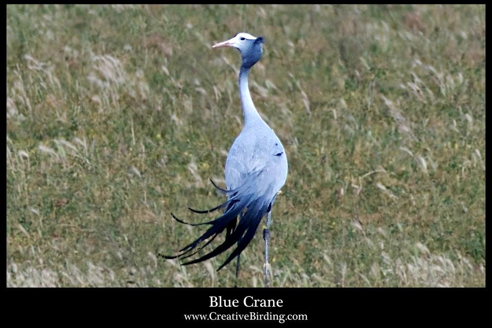 Blue Crane.jpg
