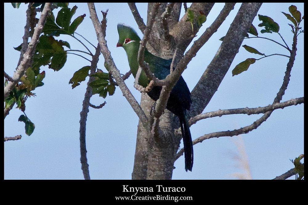 Knysna Turaco1.jpg