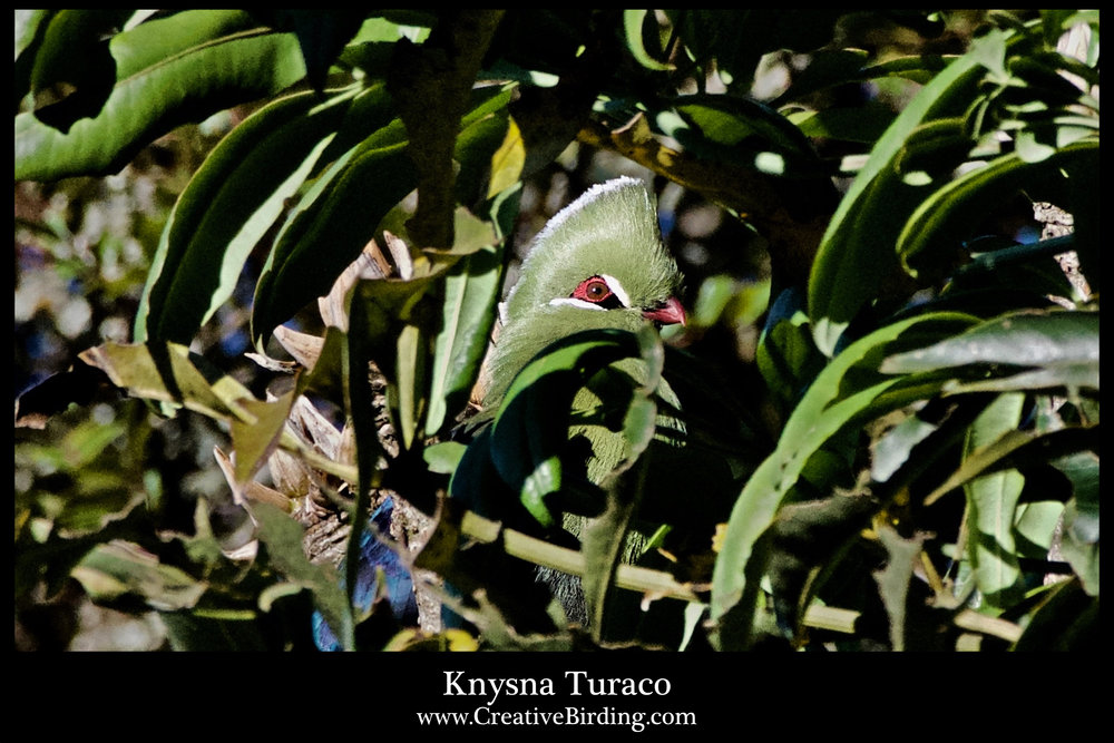 Knysna Turaco2.jpg