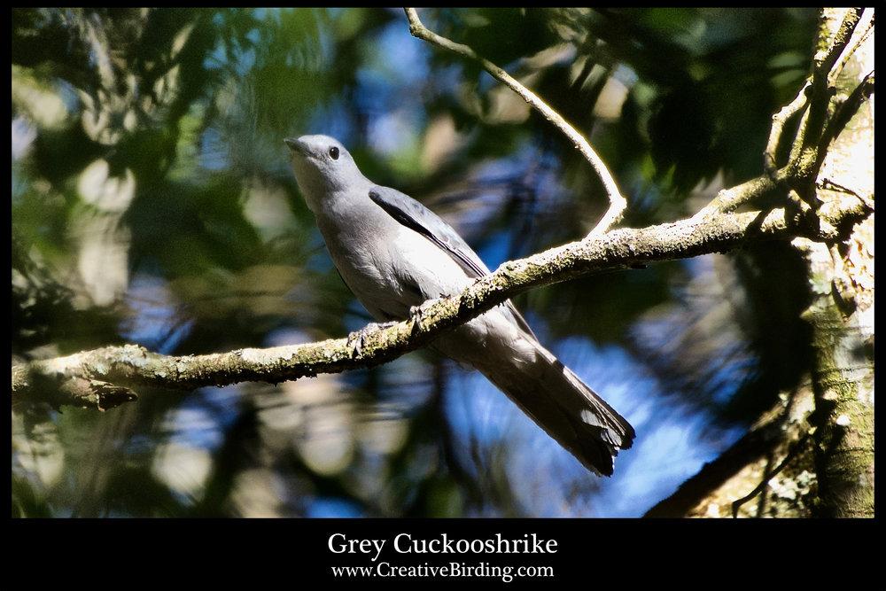 Grey Cuckooshrike.jpg
