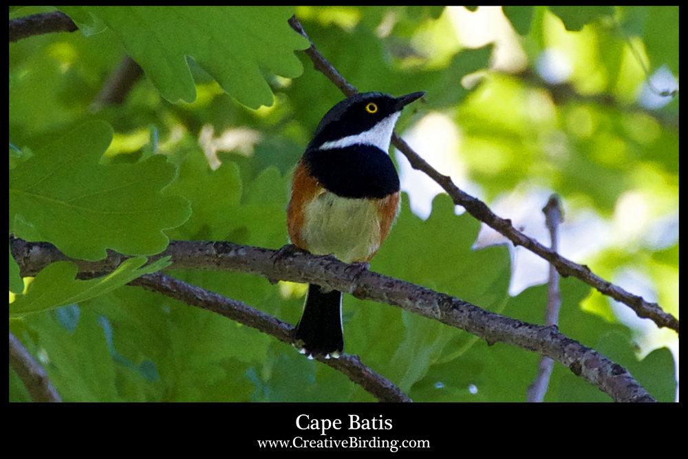 Cape Batis.jpg