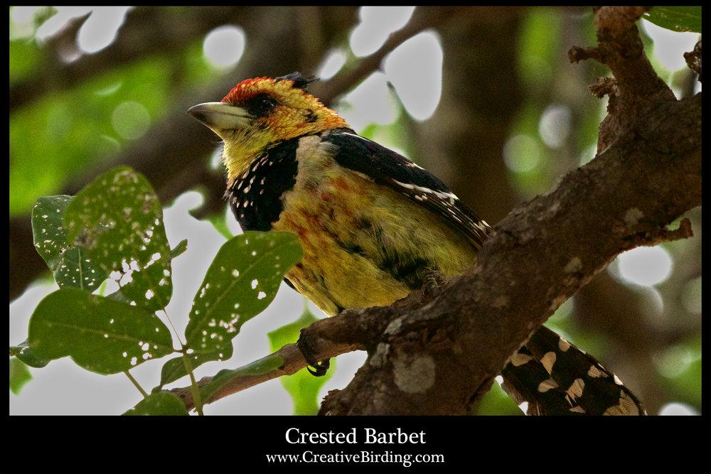 Crested Barbet.jpg
