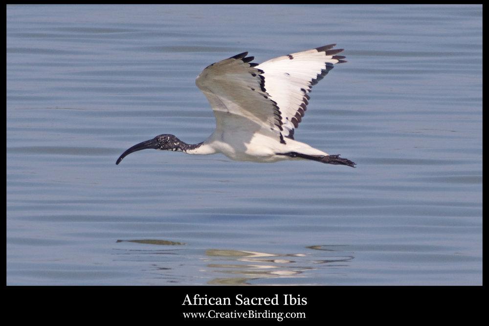 African Sacred Ibis3.jpg