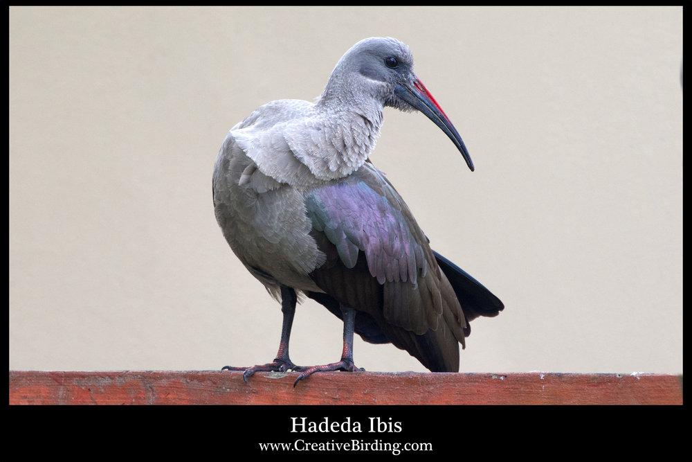 Hadeda Ibis2.jpg