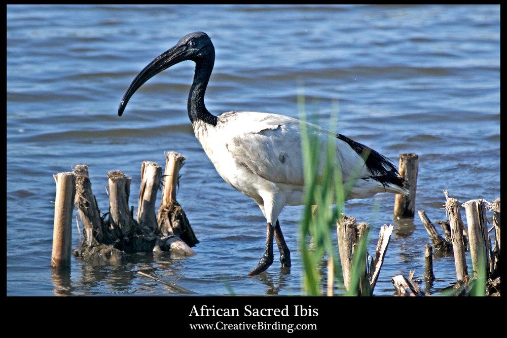 African Sacred Ibis2.jpg