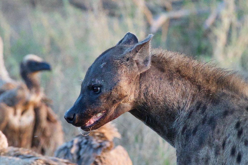 Spotted Hyena (1).jpg