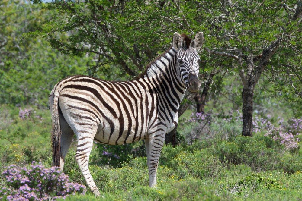 Burchell's Zebra.jpg