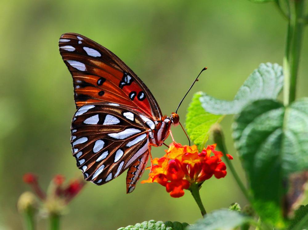 Butterfly1A.jpg