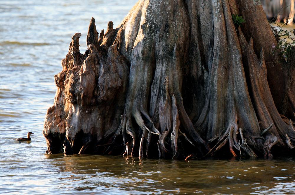 Nature Cypress3.jpg
