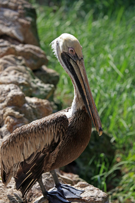 Nature Pelican2.jpg