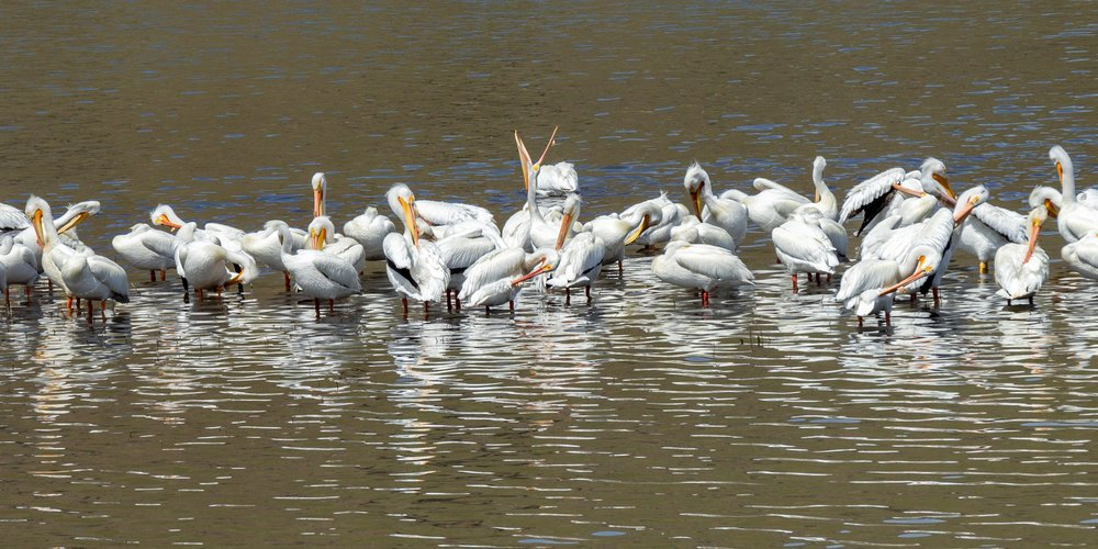 Pelicans in the Clearwater  by Debi Carpadus