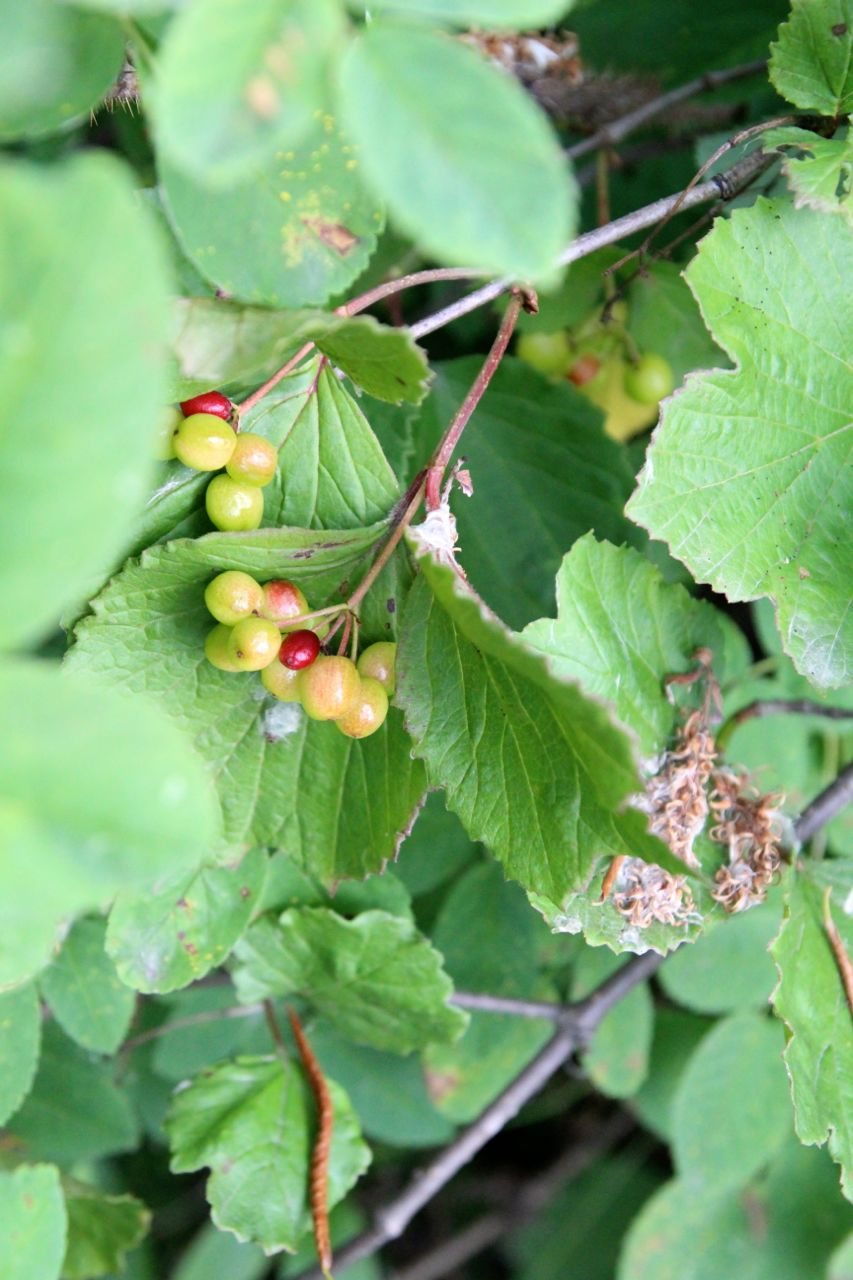 High bush cranberries