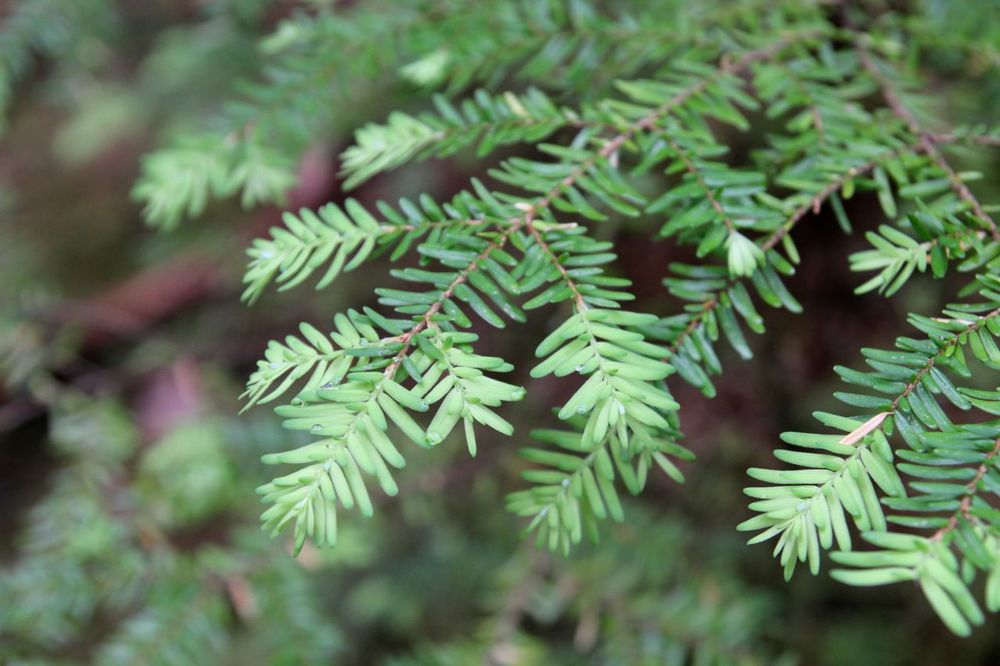 CONIFEROUS TREE TIPS
