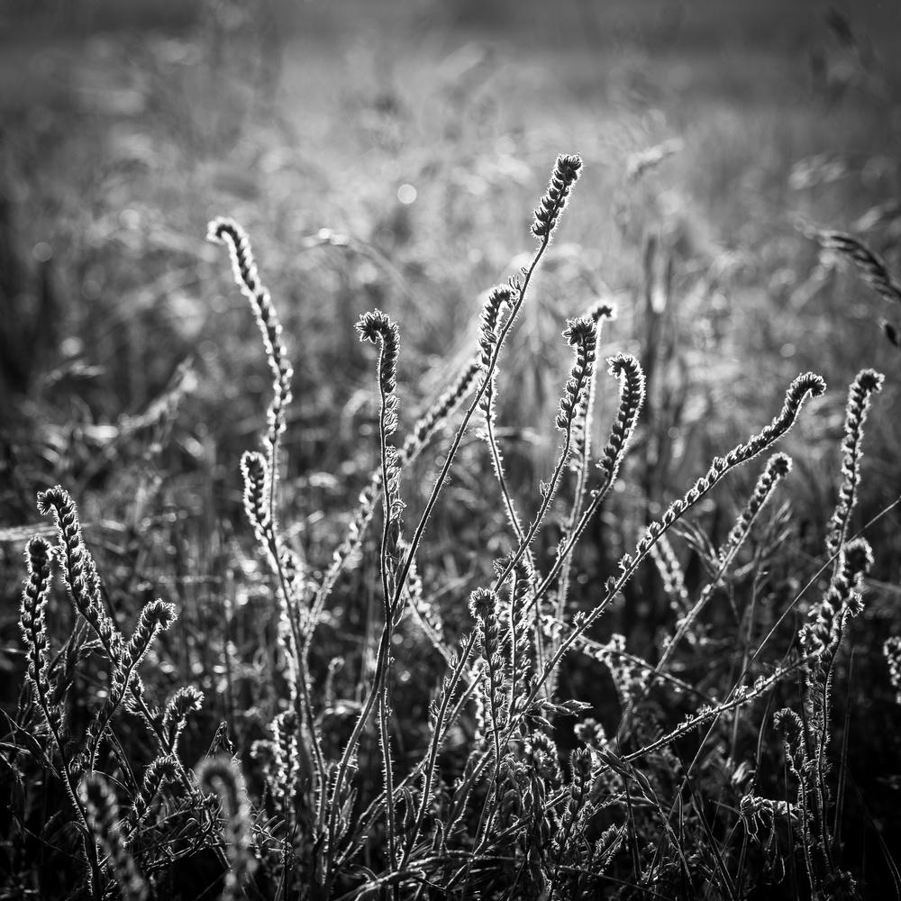 Morning Light in Field, Study 1