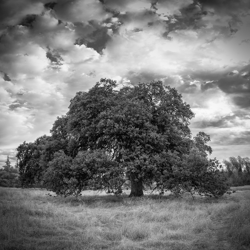 Oak in Field