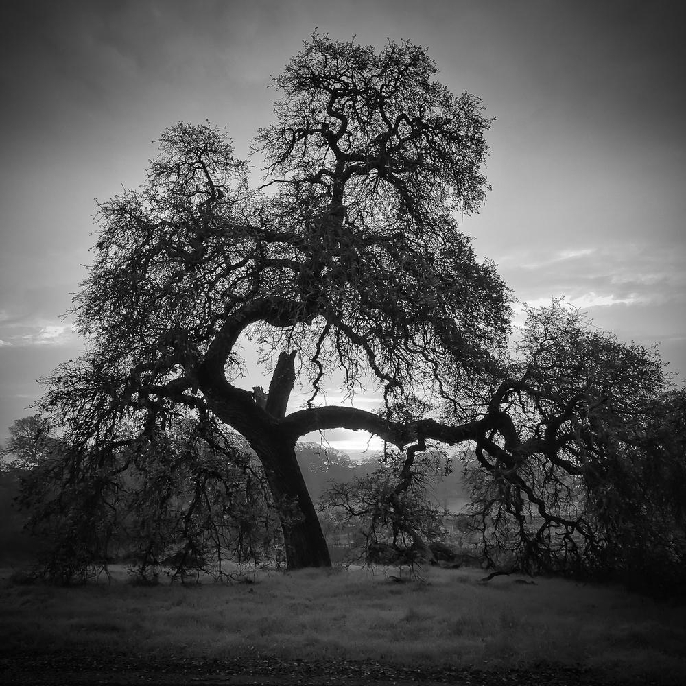 Old Oak at Sunrise