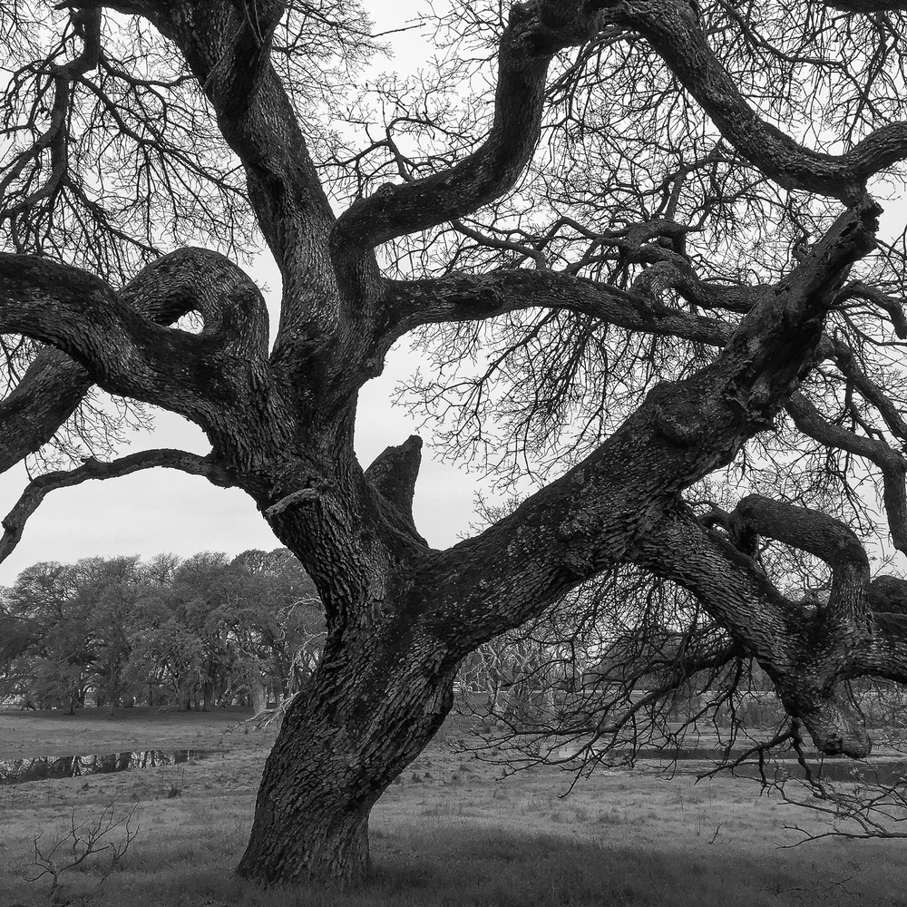 Twisted Oak II