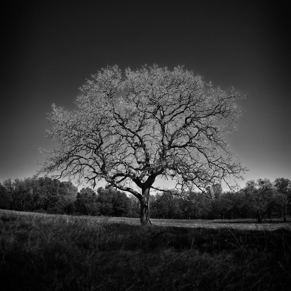 Olmstead Oak