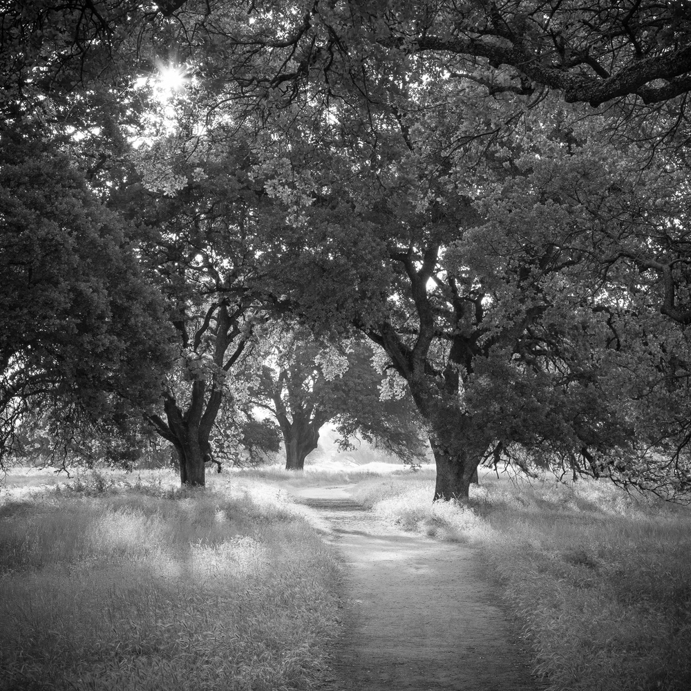 Path Through Oak Woodland