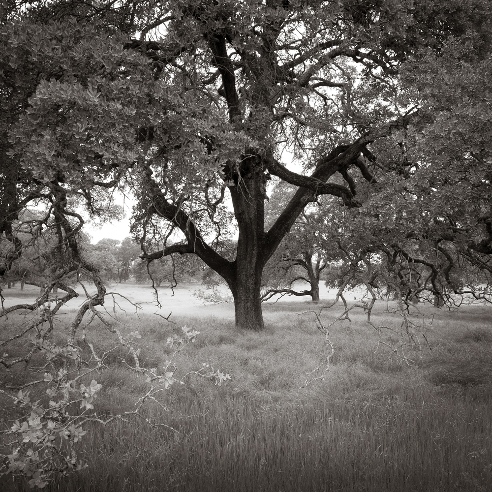 Springtime Oak and Meadow