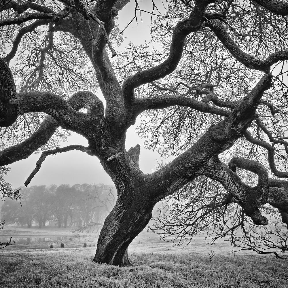 Old_Oak_Tree.jpg
