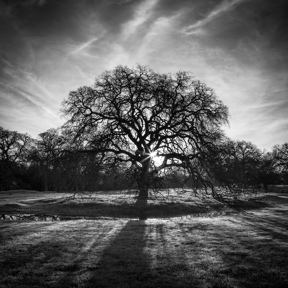 Valley Oak at Sunrise