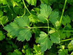 Parsley_Leaf_Herb.jpg