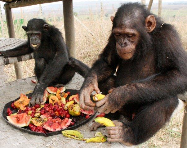 Chimps_Fruit.jpg