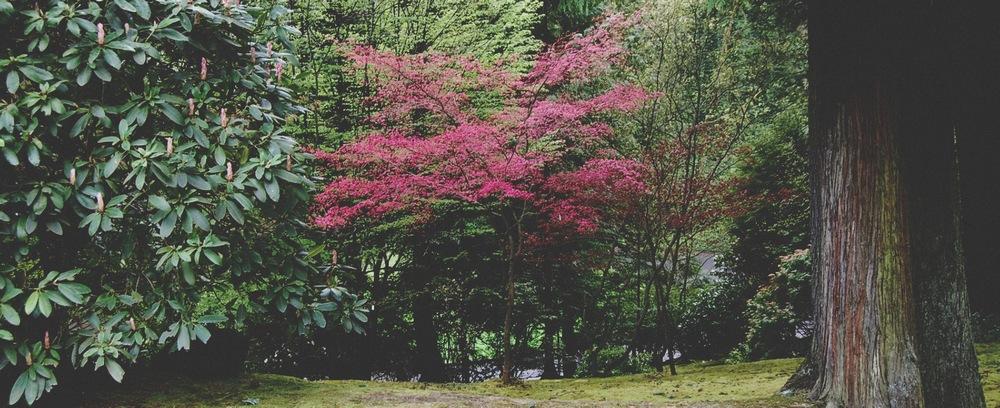 Hot Pink Maple1.jpg