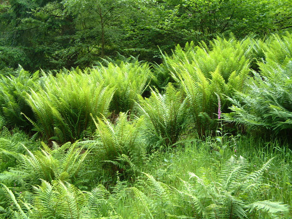 Bracken_and_Ferns_in_the_Quantock_Hills_and_Forest.jpg