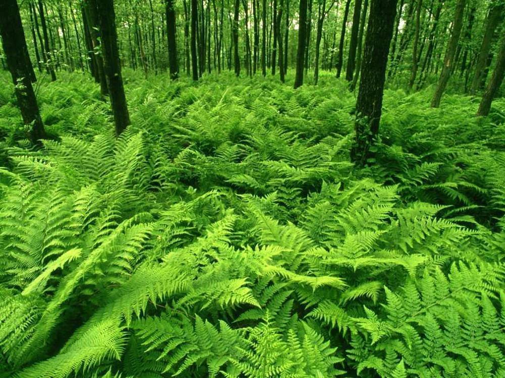 Green-Forest-of-Ferns-green-19838811-1024-768.jpg