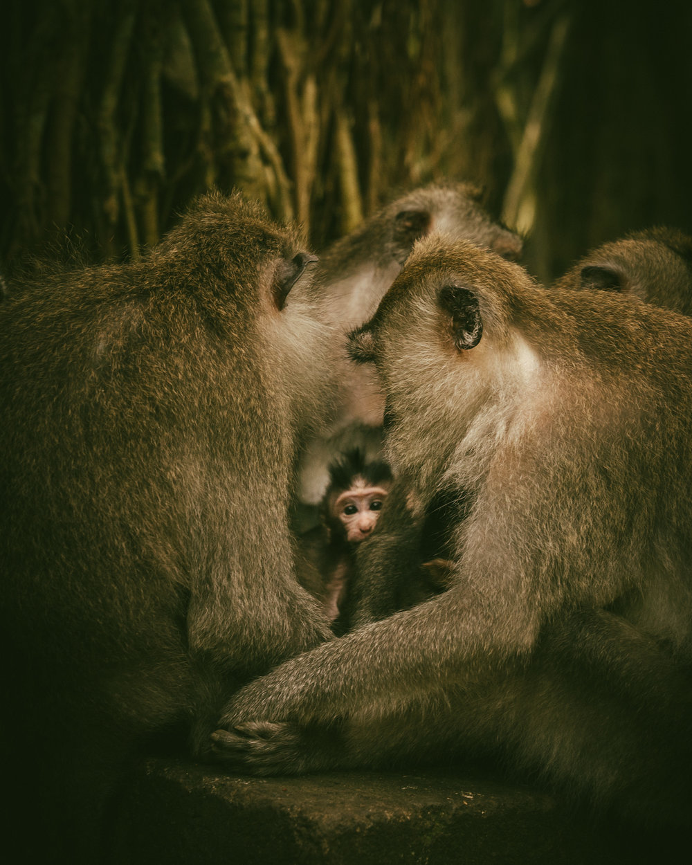 MONKEY FOREST: a new resident.