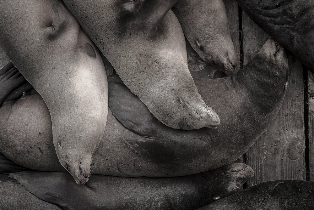 SleepingSealions.jpg