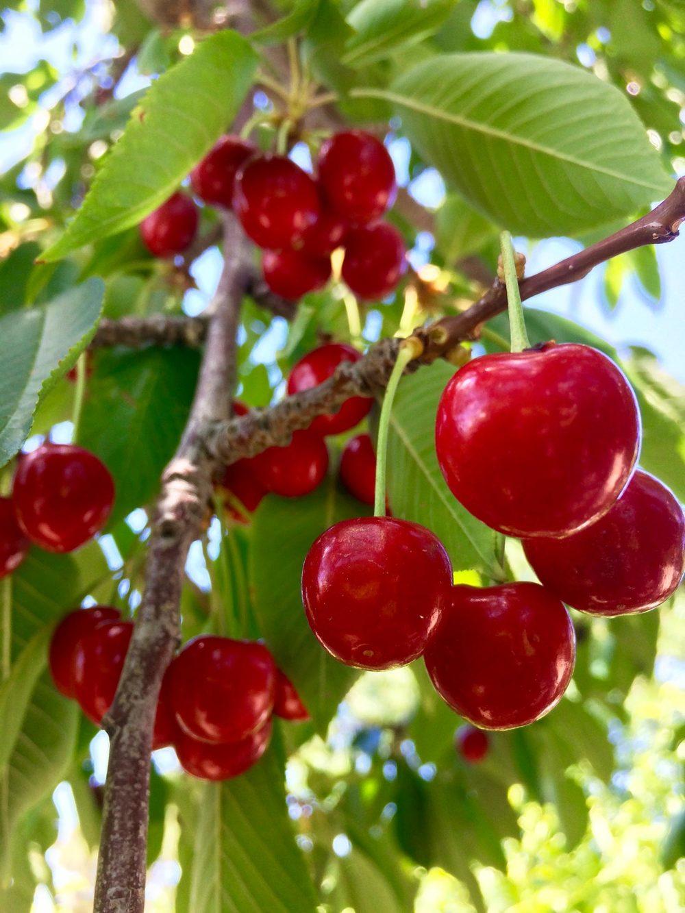 Cherries_red-zipper-design.jpg