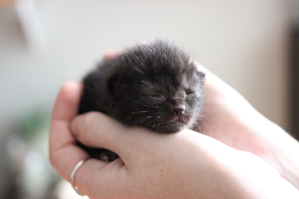This one has now fully opened her eyes and is an absolute fighter. She's chubby, too, which means she has a good chance of making it. She opened her eyes after only seven days which is kind of surprising and she has beautiful (temporarily) blue eyes.
