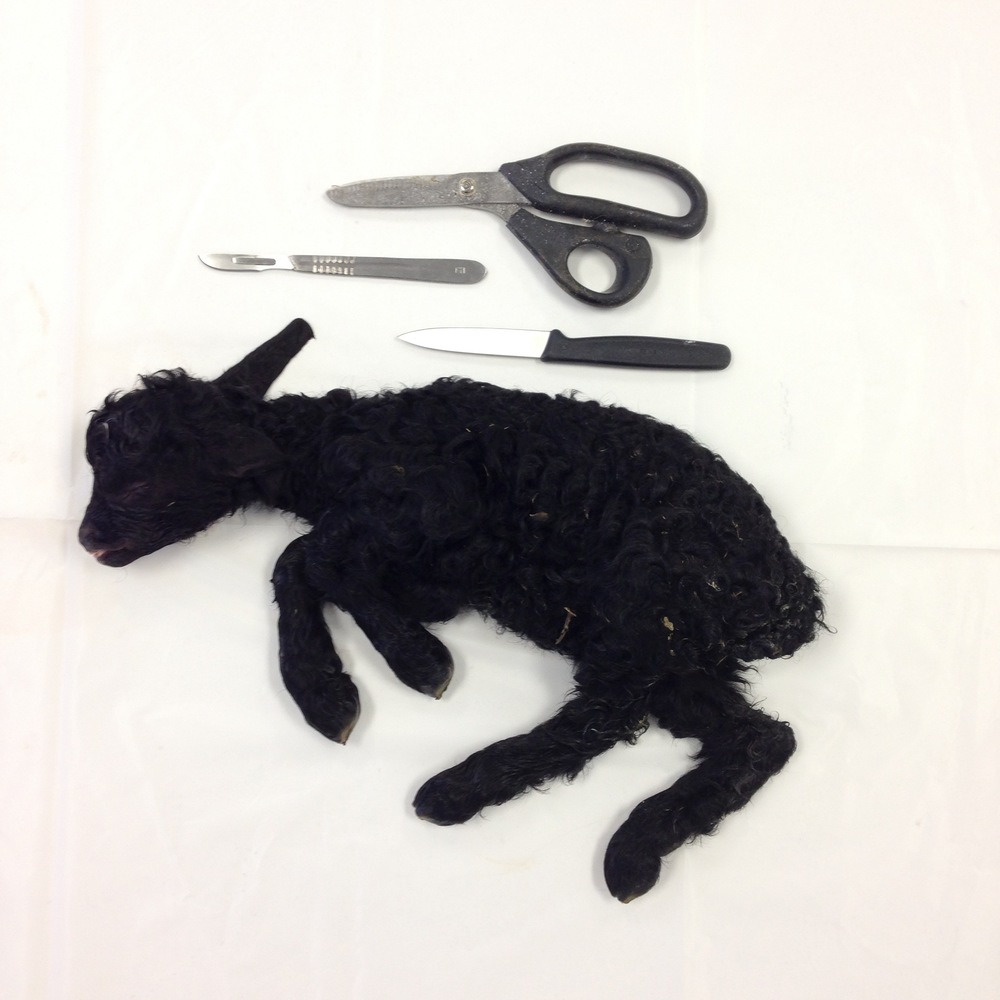 A black lamb, currently being tanned before mounting next week.