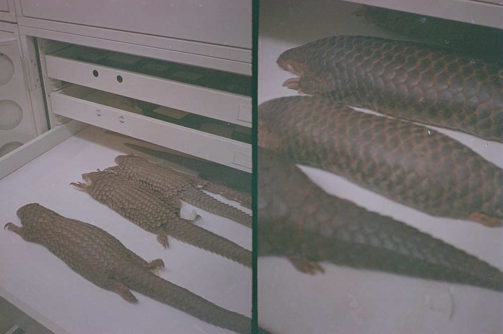 Left and right: pangolin study skins. Taken at the Field Museum, October 2013. Canon Demi (half-frame) camera with expired film - excuse the dark exposure.