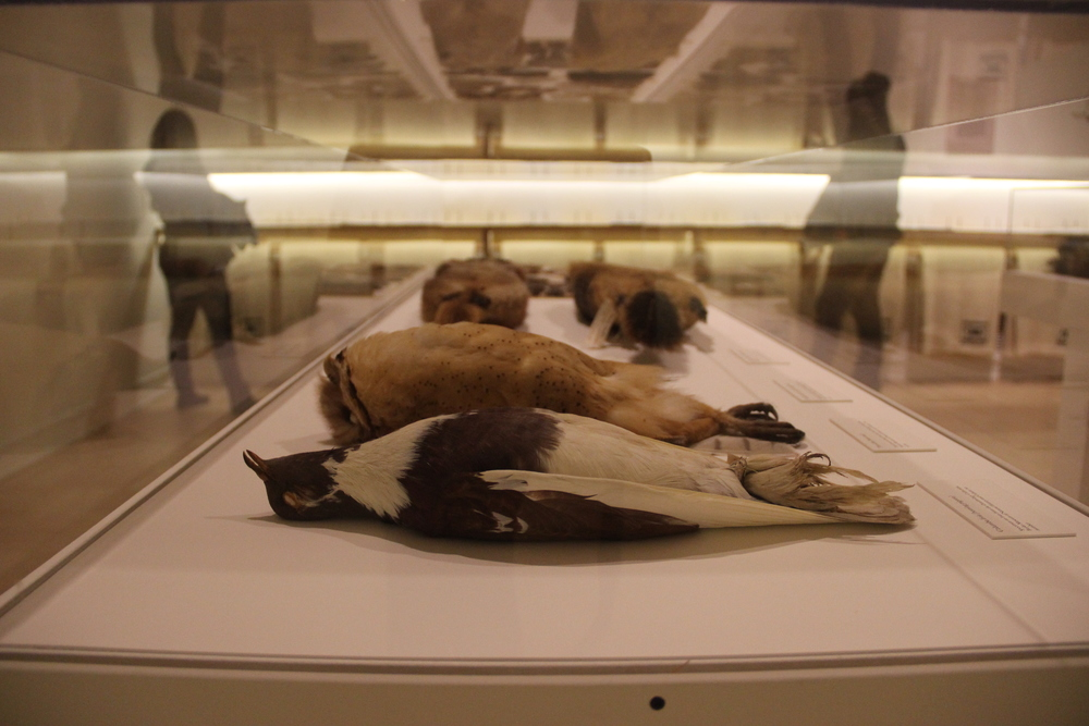 Archival study skins from birds via the Burke Museum at University of Washington, on loan to the Henry Art Gallery as part of artist Ann Hamilton's The Common S E N S E - a large-scale installation for which I was a guest speaker on sourcing and taxidermy in education.
