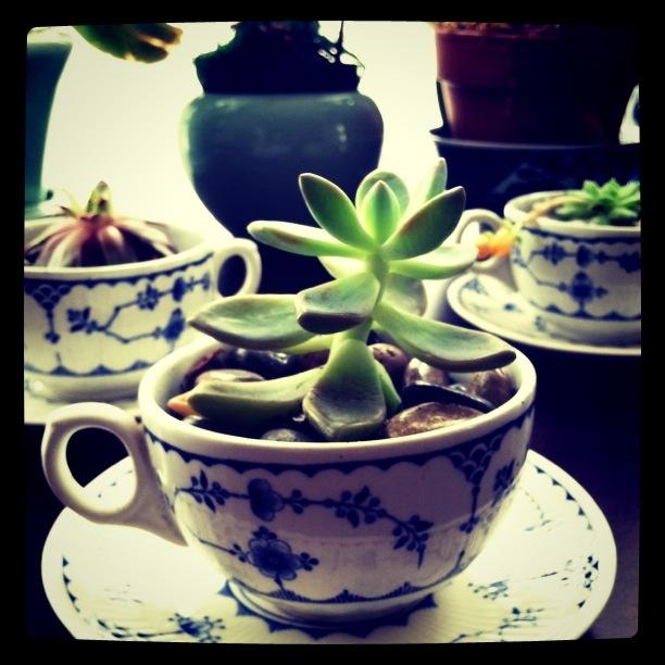 teacupsucculent.JPG